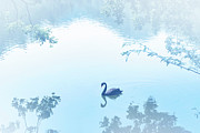 Black Swan Prints - Black Swan Floating On Mist Lake Print by Lawren