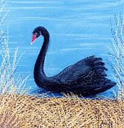 Swans... Pastels Prints - Black Swan Print by Jan Amiss