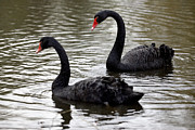 Biological Prints - Black Swans Print by Denise Swanson
