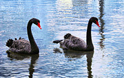 Wet Fly Prints - Black swans Print by Imagevixen Photography