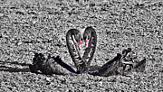 Black Swans Metal Prints - Black Swans in Love Black and White Metal Print by Douglas Barnard