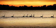 Black Swans Framed Prints - Black swans  Framed Print by Michael Howard