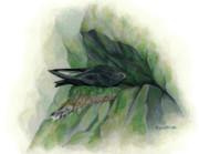 Kalen Malueg Drawings Posters - Black Swift on nest Poster by Kalen Malueg