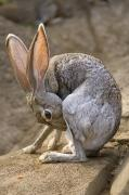 Zoo Animals Photo Prints - Black-tailed Jackrabbit Lepus Print by Joel Sartore