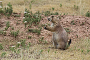Black-tail Posters - Black tailed prairie dog Poster by Adam Long