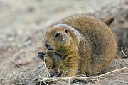 Prairie Dog Art - Black-tailed Prairie Dog by Bob Gibbons