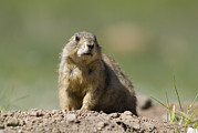 Prairie Dogs Prints - Black-tailed Prairie Dog Cynomys Print by Rich Reid