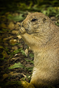 Prairie Dog Metal Prints - Black-tailed Prairie Dog Flips The Bird Metal Print by Bill Tiepelman