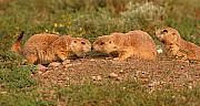 Prairie Dog Framed Prints - Black-tailed Prairie Dog Greeting Kiss Framed Print by Max Allen
