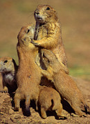 Prairie Dogs Prints - Black-tailed Prairie Dogs Print by Tony Beck