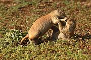 Prairie Dog Prints - Black-tailed Prairie Dogs Wrestling Around Print by Max Allen