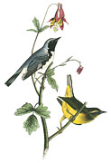 Warbler Paintings - Black-throated Blue Warbler by John James Audubon