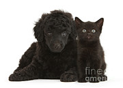 Toy Dog Posters - Black Toy Poodle And Black Kitten Poster by Mark Taylor