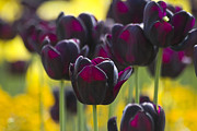 Purple Flower Framed Prints - Black Tulips in Yellow Framed Print by Heiko Koehrer-Wagner