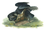 Scavengers Posters - Black Vulture Poster by John James Audubon