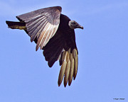 Black Vulture Print by Roger Wedegis