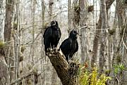 Florida Swamp Prints - Black vultures Print by David Lee Thompson
