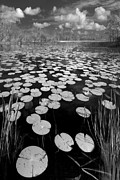 Lily Pad Photo Posters - Black Water Poster by Debra and Dave Vanderlaan