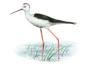 Black Winged Stilt Framed Prints - Black-Winged Stilt Framed Print by Lionel Portier