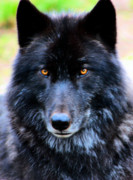 Wild Life Photos - Black Wolf by Nick Gustafson