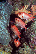 Quartet Prints - Blackbar Soldierfish Print by Georgette Douwma