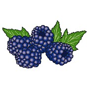Color Purple Framed Prints - Blackberries Framed Print by Wolfgang Herzig