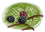 Linocut Prints - Blackberries, Woodcut Print by Gary Hincks