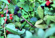 Black Berries Metal Prints - Blackberry  Metal Print by JC Findley