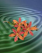 Blackberry Photo Posters - Blackberry Lily Poster by Patricia Motley