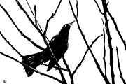 Bird Drawings - Blackbird by Giuseppe Cristiano