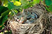 Gaspar Avila - Blackbird nest
