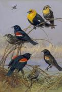 Bird On Tree Painting Prints - Blackbirds and Orioles perched on gold braid Print by Allan Brooks
