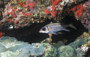 Water In Cave Posters - Blackfin Squirrelfish Swimming Poster by Michael Wood