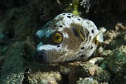Puffer Photo Framed Prints - Blackspotted Puffer Framed Print by Matthew Oldfield