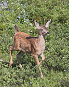 Trotting Photos - Blacktail Fawn by Angie Vogel