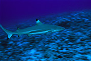 Reef Sharks Posters - Blacktip Reef Shark, Carcharhinus Poster by Tim Laman