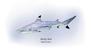 Illustrated Posters - Blacktip Shark Poster by Ralph Martens
