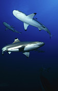 Sharks Photo Posters - Blacktip Sharks, Moorea, French Poster by Beverly Factor