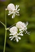 Bladder Posters - Bladder Campion (silene Vulgaris) Poster by Bob Gibbons