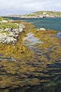 Outer Hebrides Framed Prints - Bladder Wrack Seaweed Framed Print by Adrian Bicker