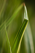 Grass Blade Posters - Blades Abstract 3 Poster by Mike Reid