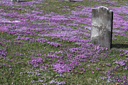Final Resting Place Metal Prints - Blank Colonial Tombstone Amidst Graveyard Phlox Metal Print by John Stephens