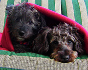 Puppies Metal Prints - Blanket Buddies Metal Print by Terril Heilman