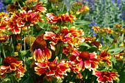 Colored Flowers Prints - Blanket Flowers Print by Sharon  Talson
