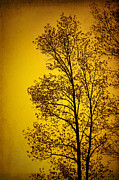Tree In Golden Light Posters - Blazing Sunset Poster by Cheryl Davis