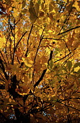 Plane Tree Photos - Blazing yellow dead leaves at fall on a plane tree by Sami Sarkis