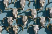 Southwestern States Photos - Bleached Cow Skulls Decorate A Wall by Paul Chesley