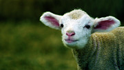 One Animal Posters - Bleating Lamb Poster by Photo by Alan Shapiro