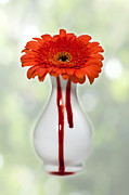 Vase White Framed Prints - Bleeding Gerbera Framed Print by Joana Kruse