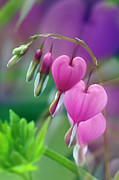 Foilage Prints - Bleeding Heart - D005135 Print by Daniel Dempster